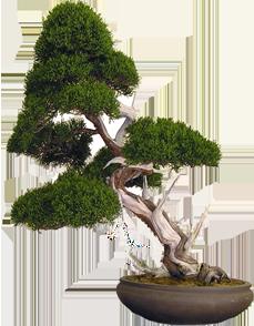 bonsai-inclinato