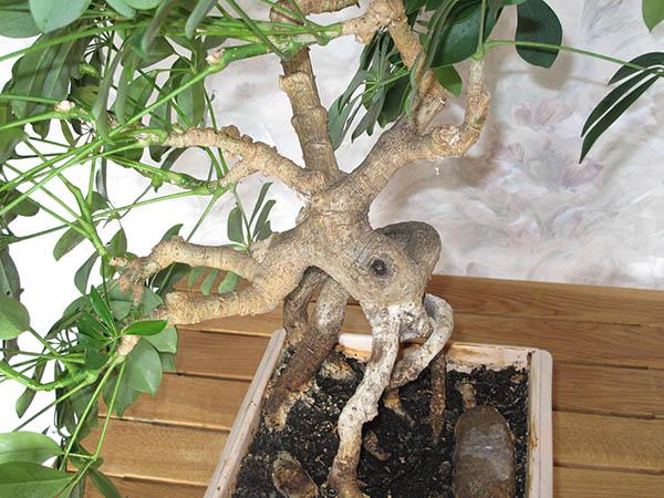 bonsai schefflera arboricola