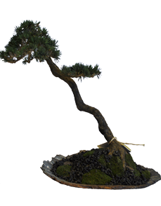 bonsai litterato