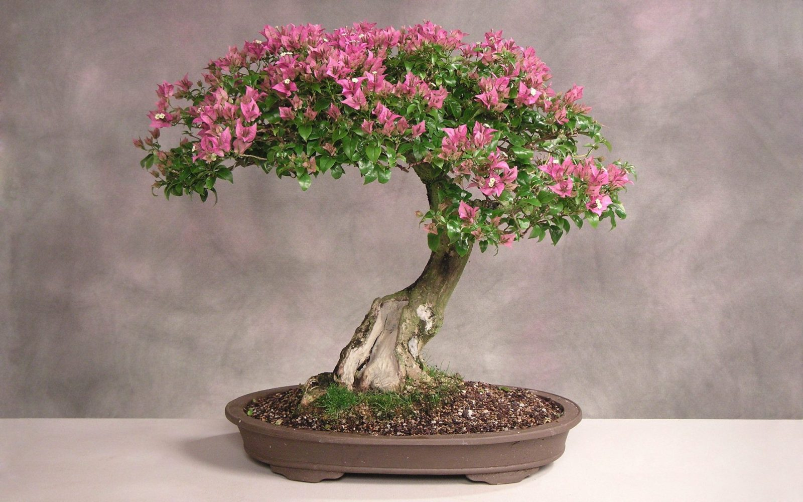 bonsai stupendo