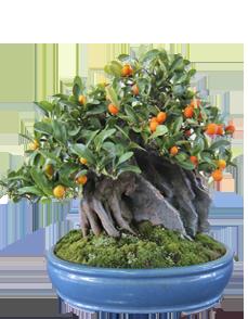 bonsai-su-roccia