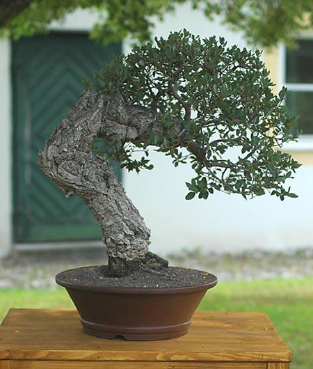 Bonsai sughera ibonsai for Bonsai da esterno