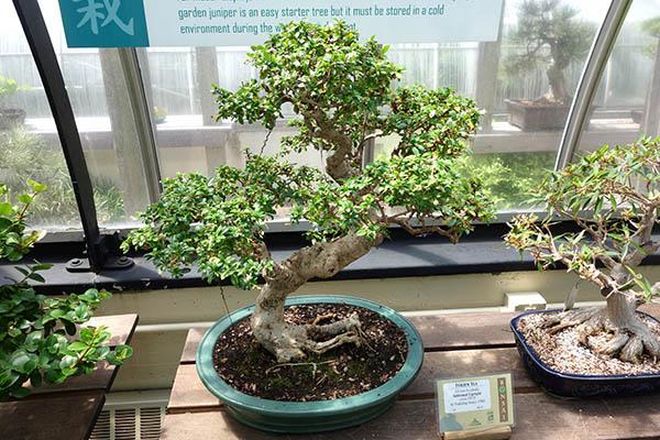 bonsai carmona microphylla