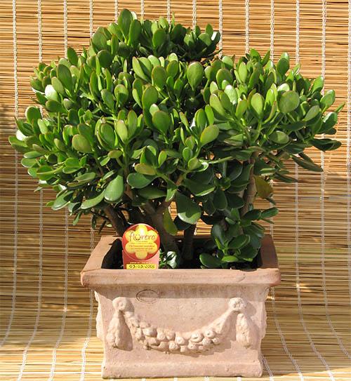 bonsai crassula