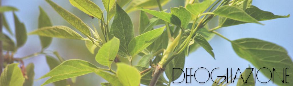defogliazione bonsai