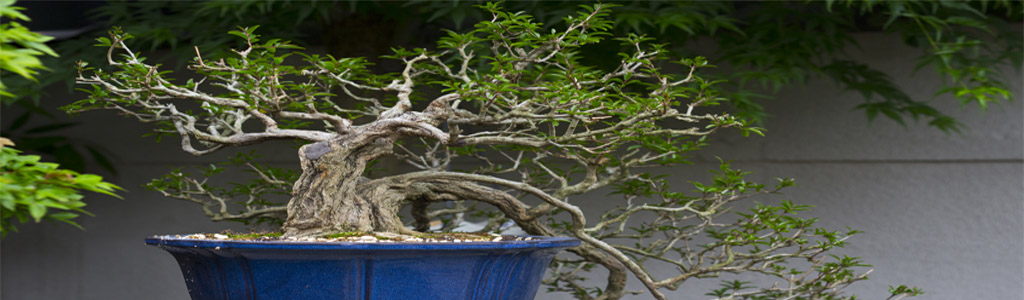 formazione di un bonsai