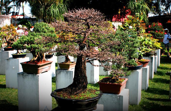 ibonsai consigli tecniche e vendita online bonsai