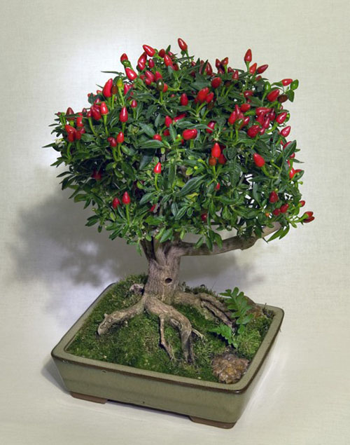 Bonsai albero del pepe ibonsai for Bonsai pianta