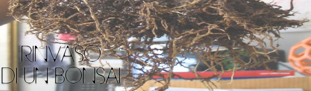 rinvasare un bonsai