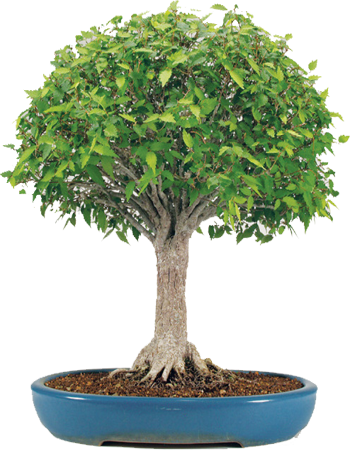 bonsai scopa rovesciata