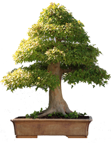 bonsai eretto formale