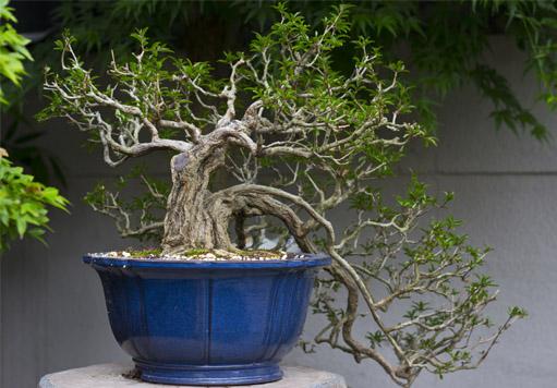 Le basi della coltivazione di un bonsai ibonsai for Bonsai comprare