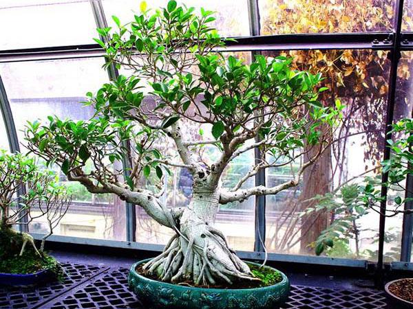 Bonsai ficus ginseng cos 39 e come prendersene cura i for Glicine bonsai prezzo