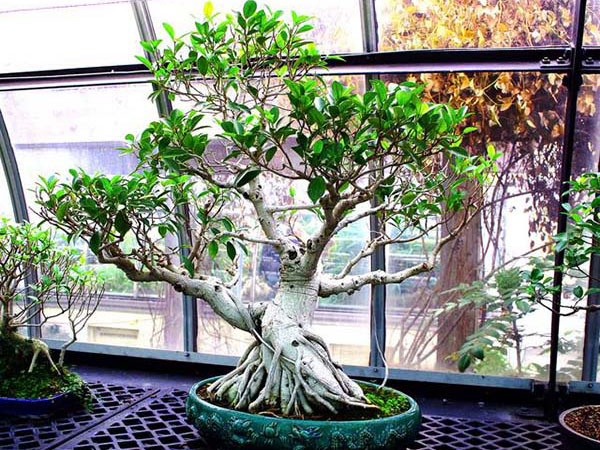 Bonsai Ficus Ginseng Cos E E Come Prendersene Cura I Bonsai