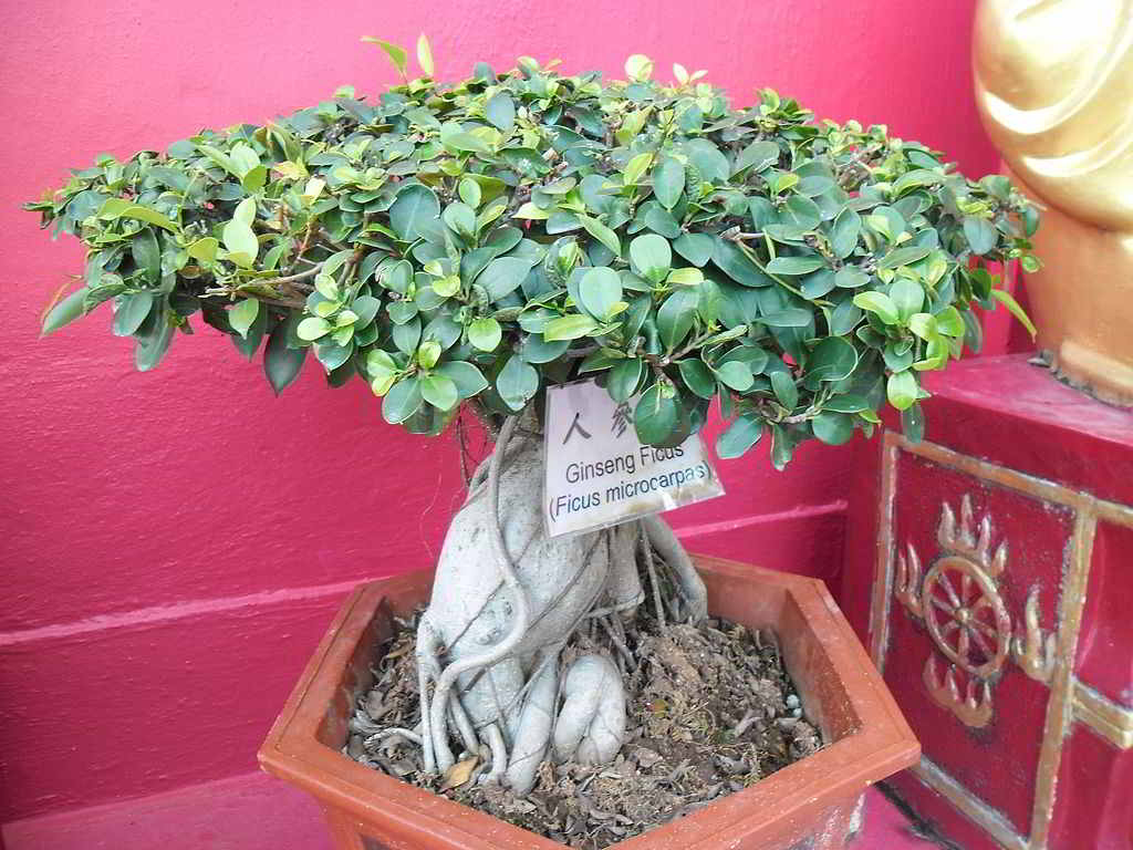 bonsai ficus ginseng cos 39 e come prendersene cura i bonsai. Black Bedroom Furniture Sets. Home Design Ideas