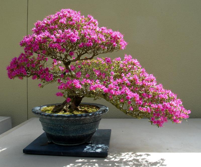 bonsai azalea rododendro