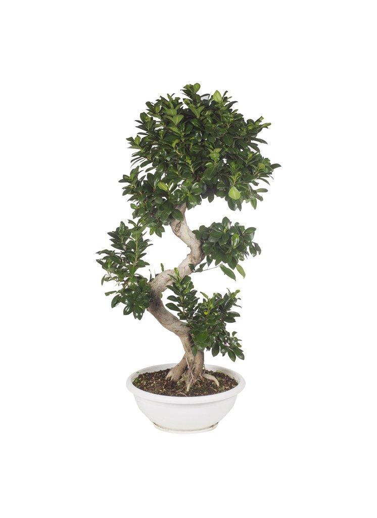 Bonsai ficus ginseng: cura e potatura - Idee Green