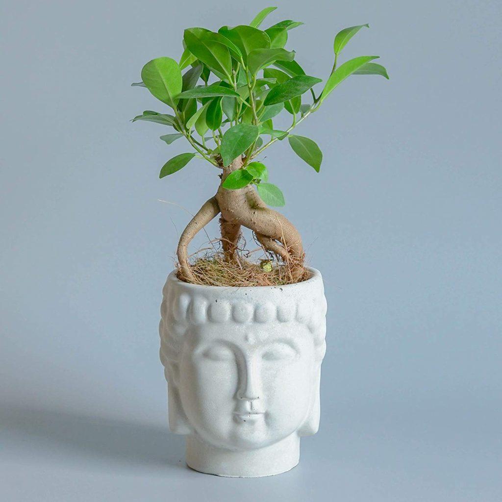 Cura Del Ficus Benjamin bonsai ficus ginseng - cos'è e come prendersene cura - i bonsai