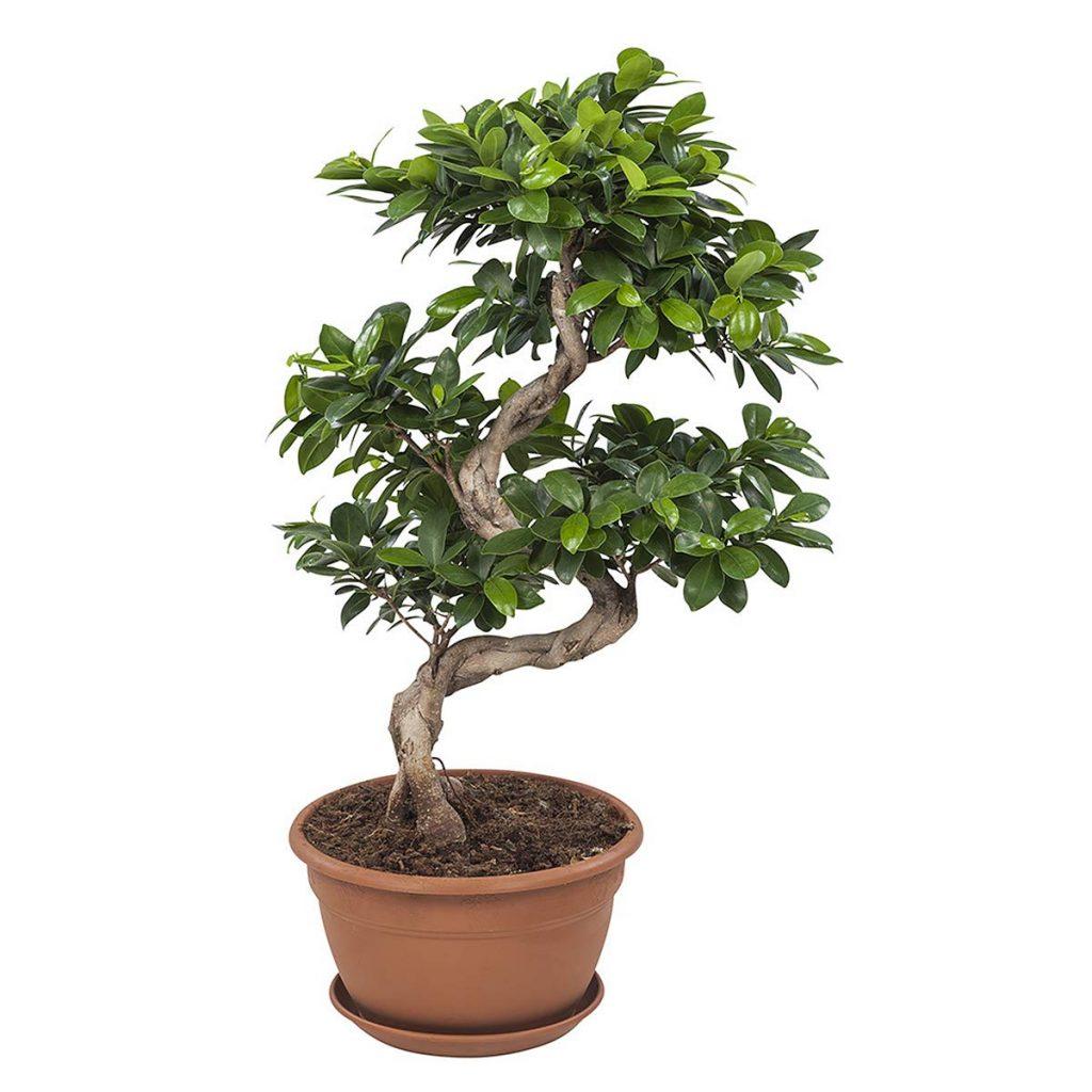 Ficus Benjamin Perde Foglie bonsai ficus ginseng - cos'è e come prendersene cura - i bonsai